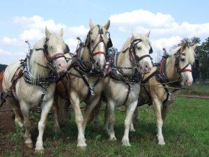 Four American Cream Draft Horses