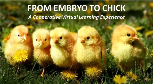 chicks with text From Embryo to Chick
