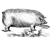 Sketched pig