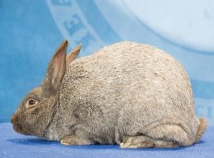 Argent Brun Rabbit image