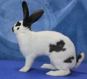 Checkered Giant Rabbit photo