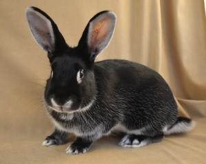 Silver Marten Rabbit