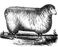 Sketched sheep
