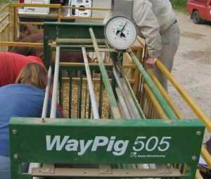 Figure 7. A farm scale suitable for weighing pigs