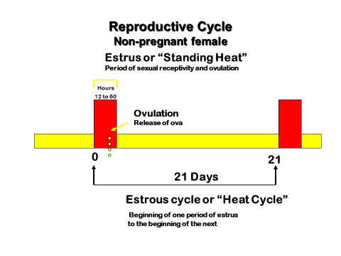 Figure 2. The 21-day estrous cycle in females.