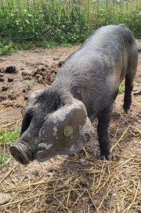 Half US half UK Large Black piglet