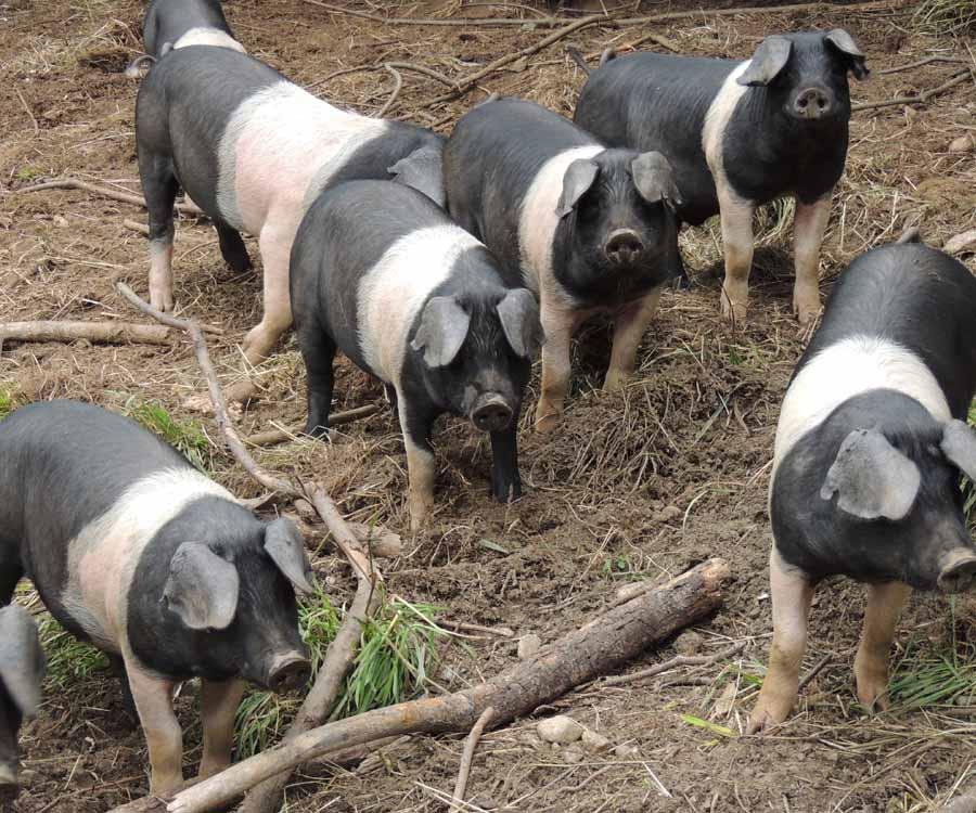 British Saddleback pigs by Matt Whalen