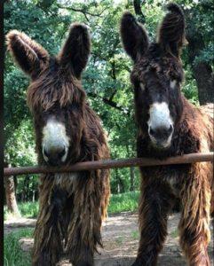 Two Poitou Donkeys